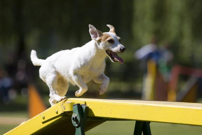 Hundar Som Tävlar