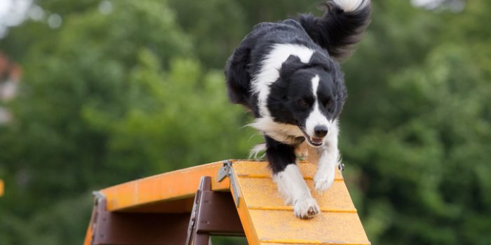 Large Dog Running Down Bridge In Agility Competition