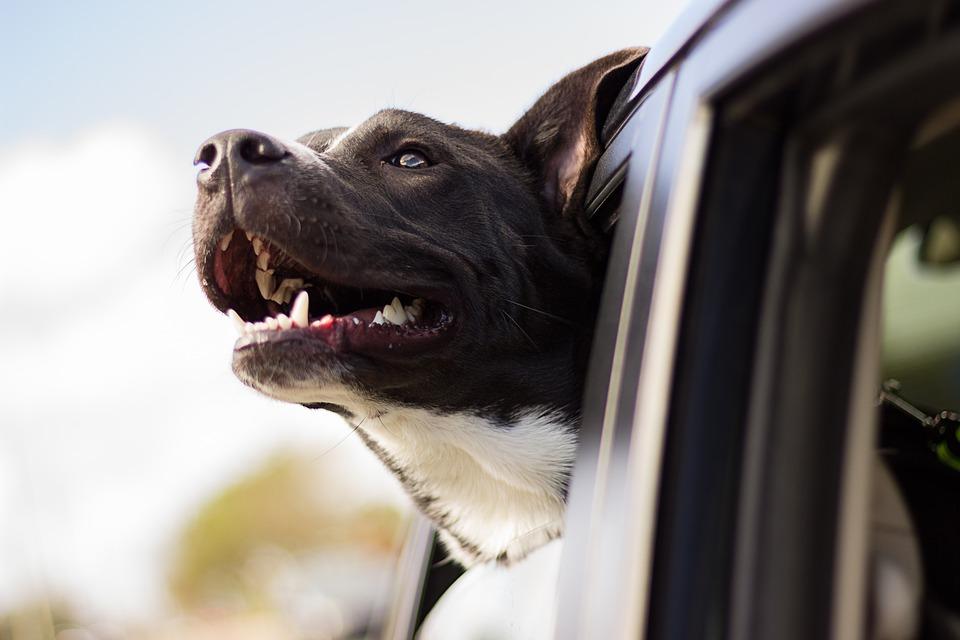Transport Av Hund