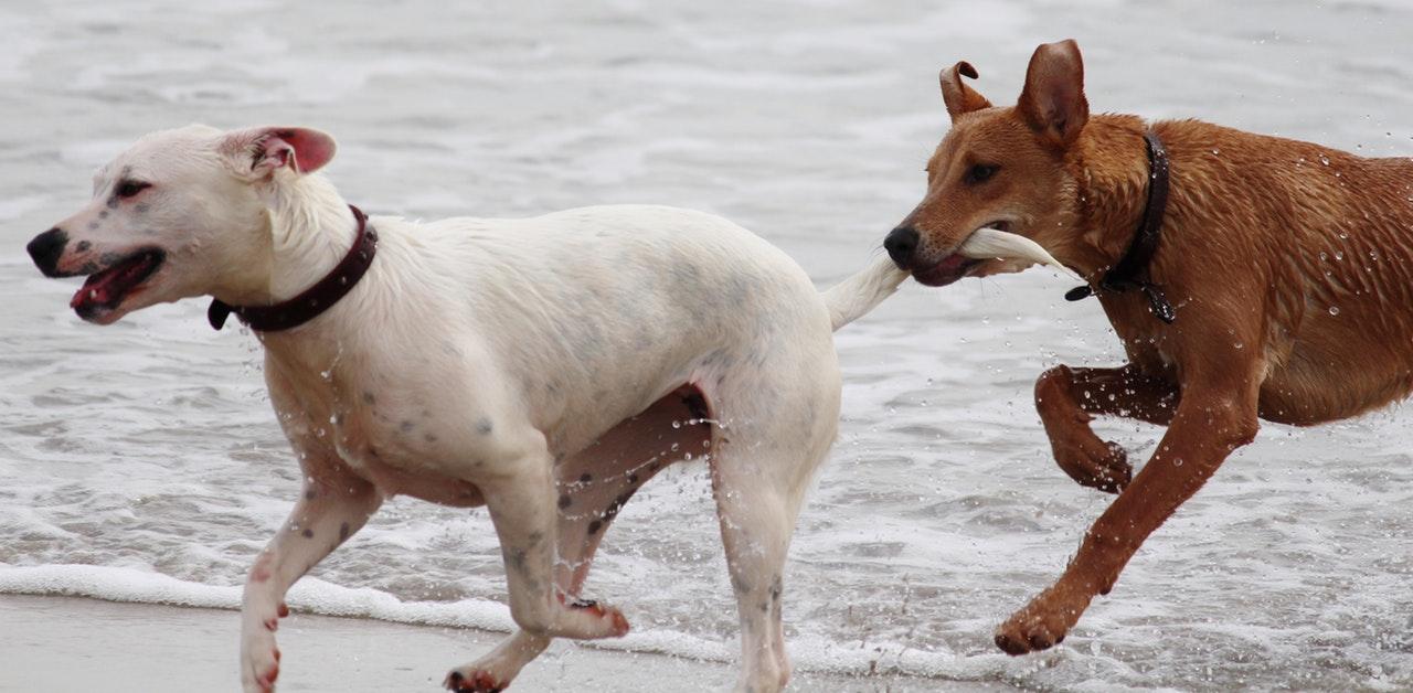 Hundar som leker