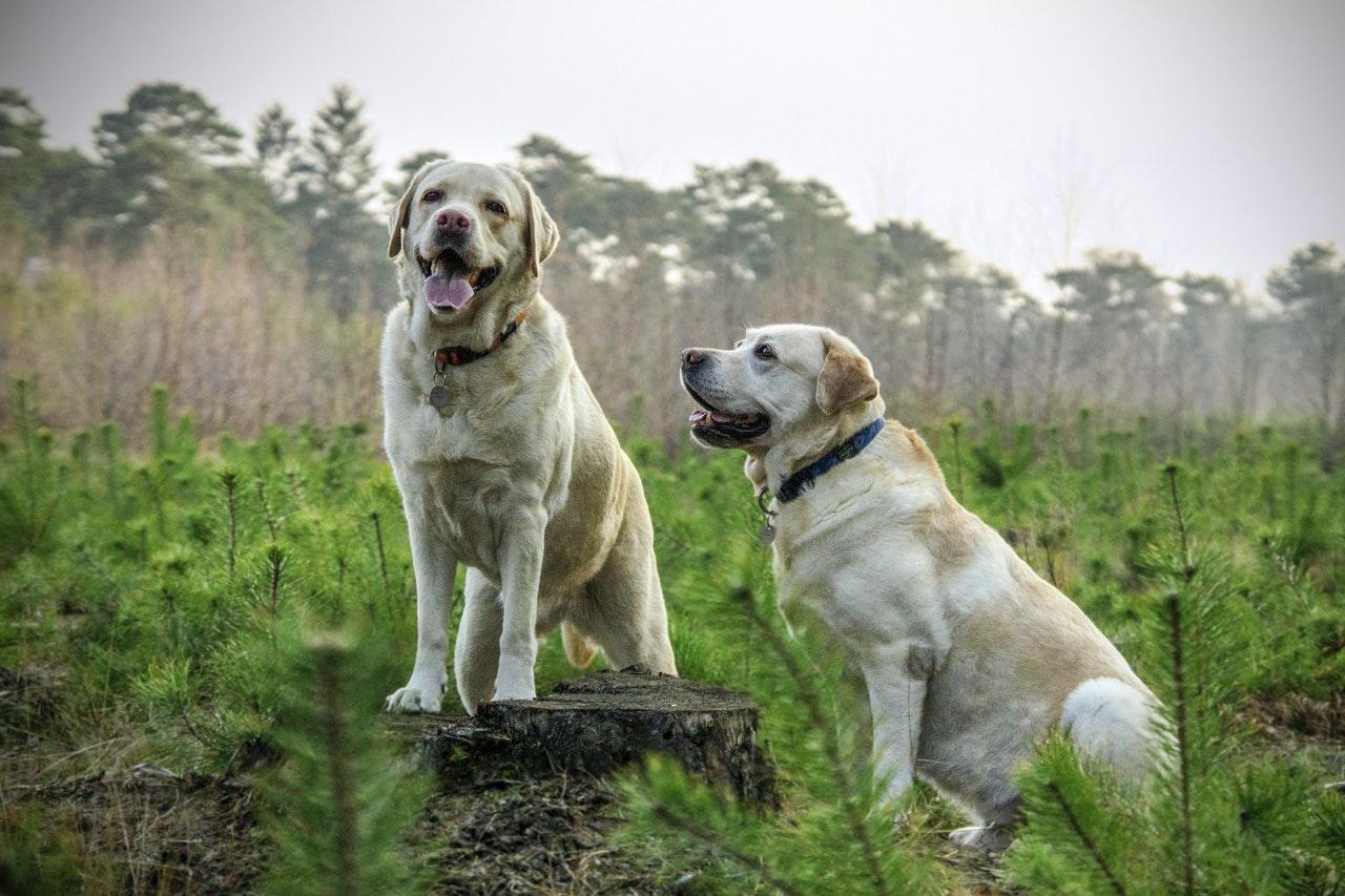 Två glada hundar i naturen
